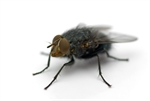 Biosupplies Live House Fly 50pk-fish-The Pet Centre
